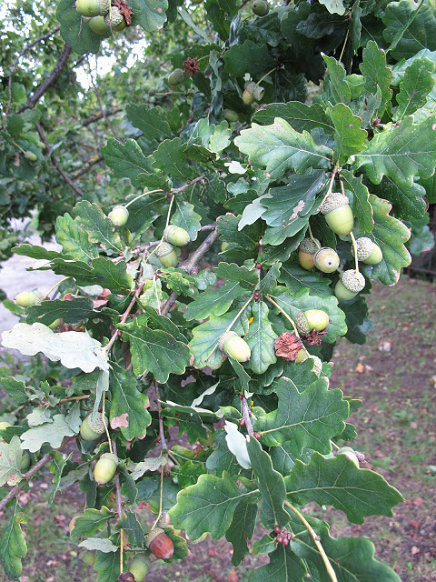 A bumper crop of acorns