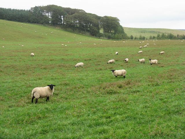 Sheep near Yorkston