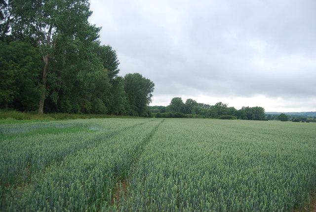 Wheat field by Birling Rd