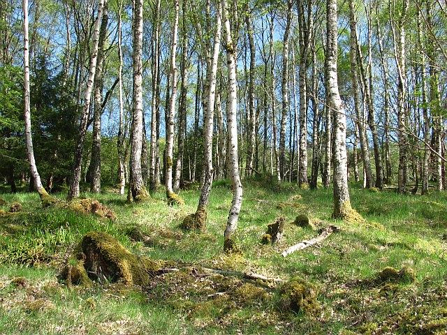 Dalginross Wood