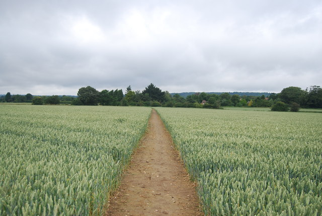 Footpath through a large wheat field