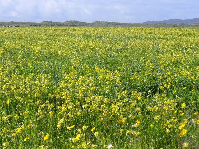 Machair Flowers, Berneray