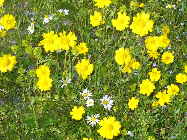 Berneray, Machair Flowers