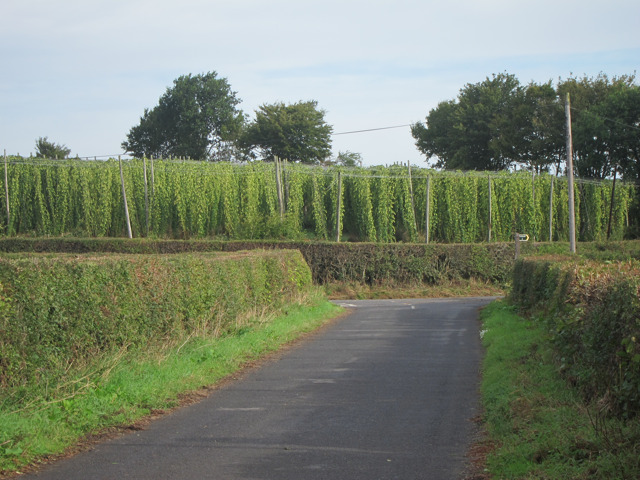 Hop fields by Crouch Lane
