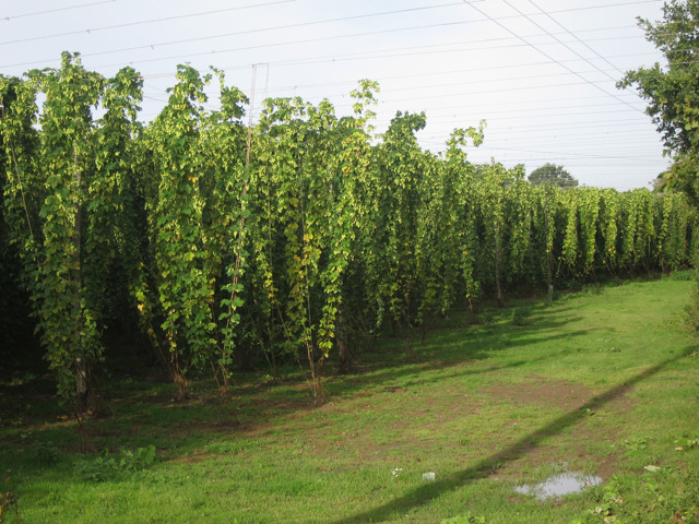 Hop garden by Hope House Lane