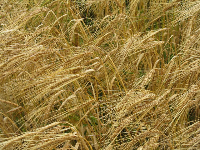 Barley near Outerston