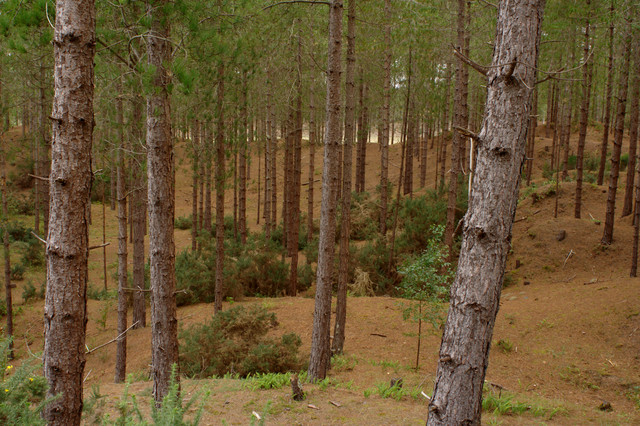 Trees, Newborough Forest