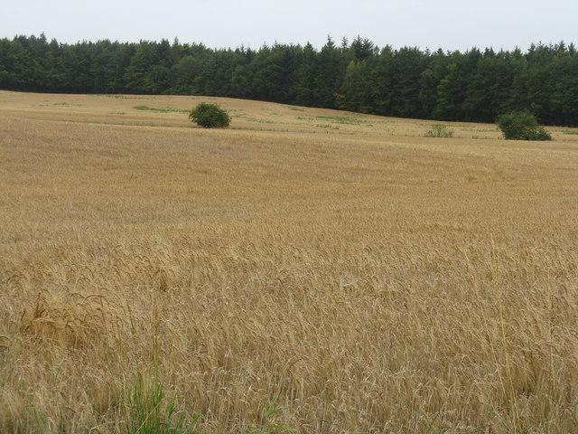 Barley, looking towards Carlisle Wood