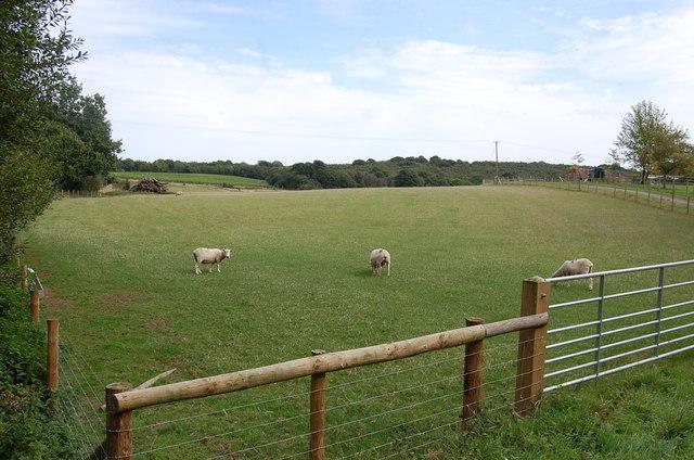 Sheep near Old House farm
