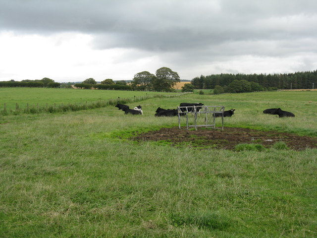 Cattle by the Bleakley Burn