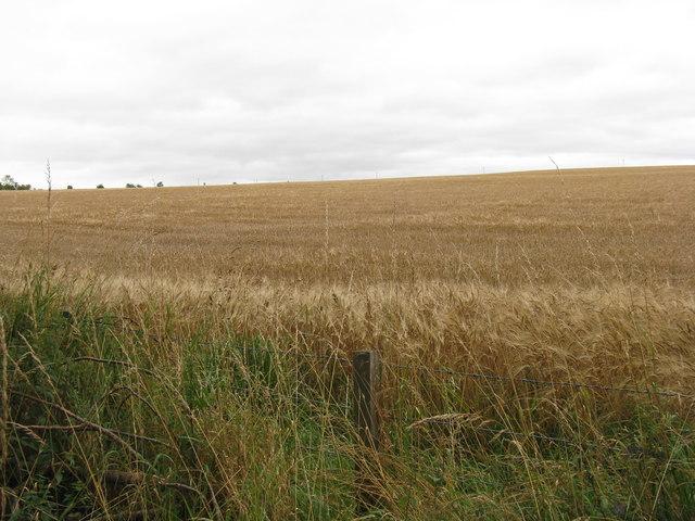 Roadside barley near Middleton Hall
