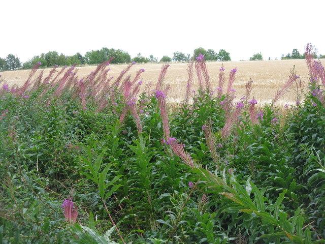 Rosebay Willowherb and barley
