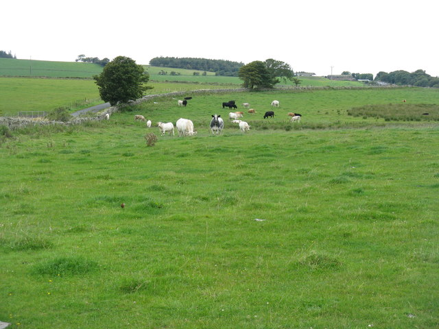 Cattle by the road to Wester Middleton