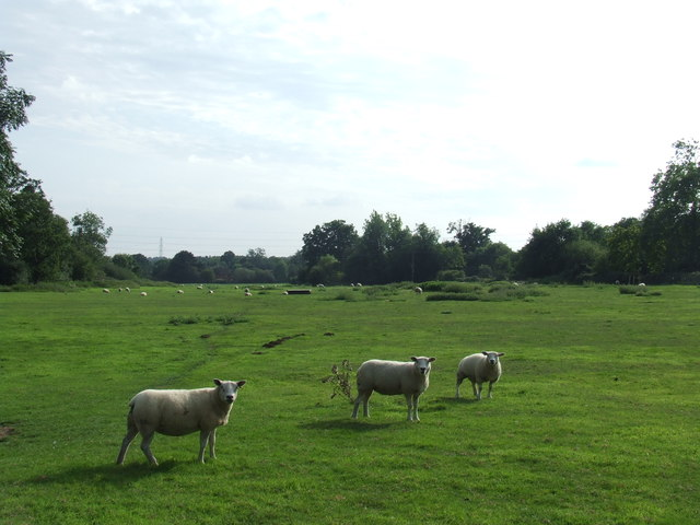 Sheep in a field near Epping