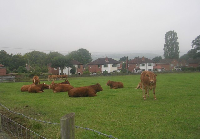 Cattle grazing - off Knott Lane