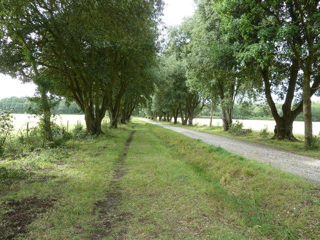Footpath through an avenue of Holm Oaks