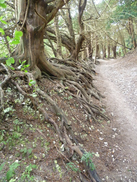 Twisted yew roots in Boxley Warren