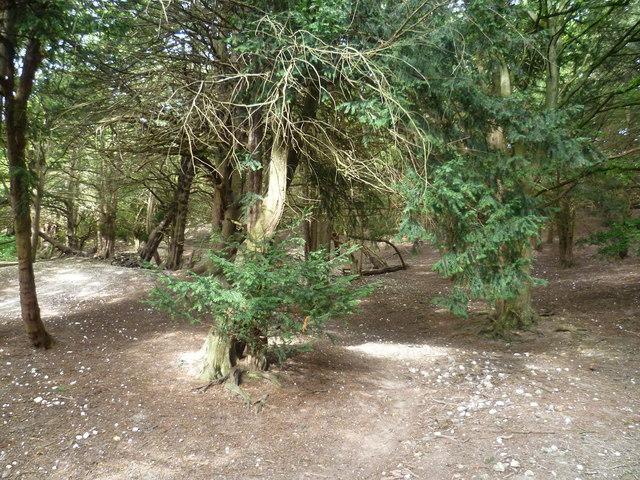 Ancient yew woodland in Boxley Warren