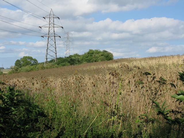 Field of teasels near Thornton Farm
