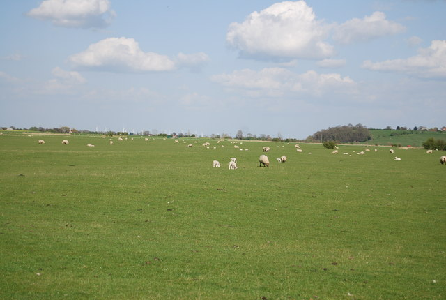 Sheep in the Brede Valley