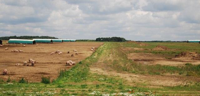 Pigs on Larling Heath