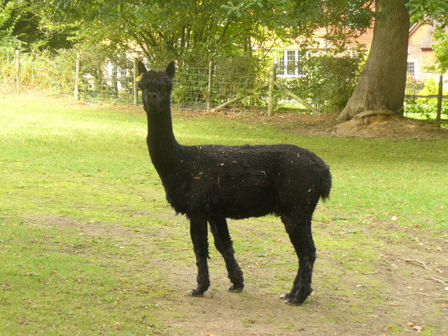The black alpaca of th...