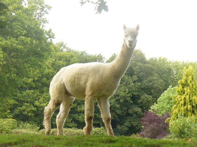 Loxwood Road alpaca