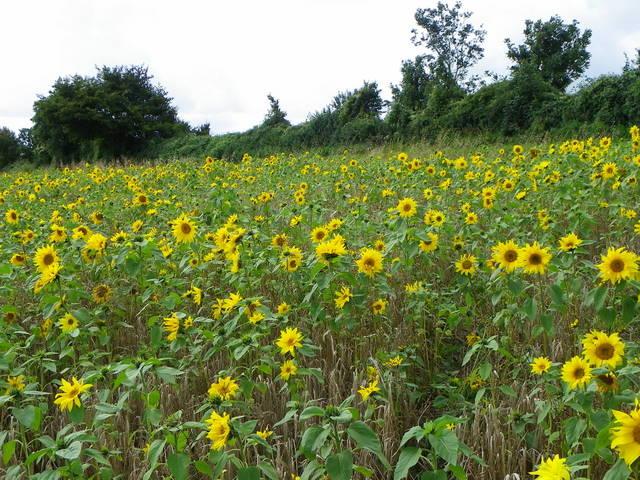 Sunflowers, Portfield Road