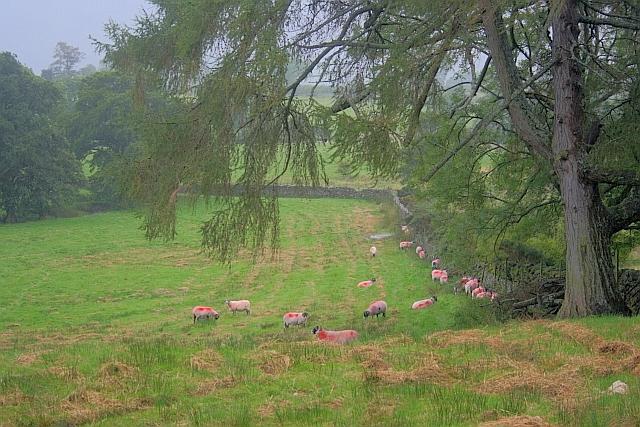 Red Sheep Sheltering Behind a Wall
