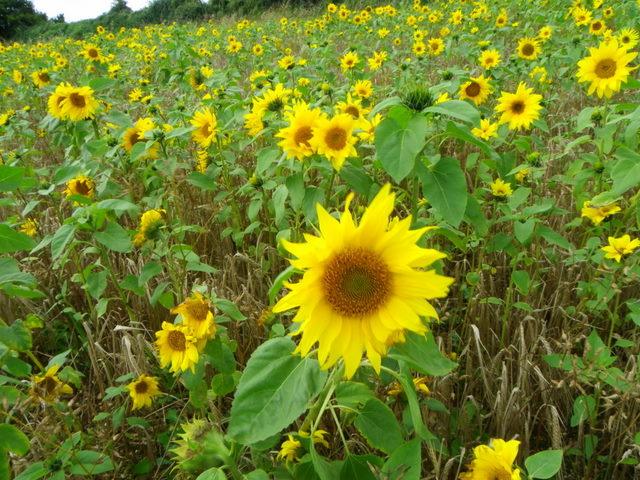 Sunflower (Helianthis annuus), Portfield Road