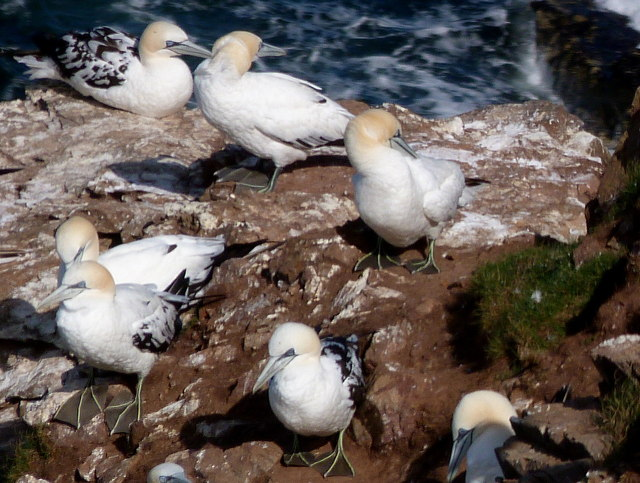 Young Gannets at Troup Head