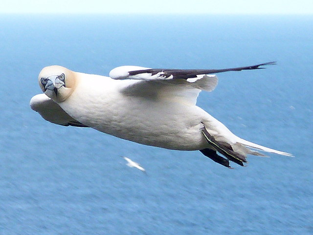 Close inspection by a passing Gannet!