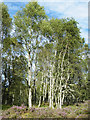 NJ4400 : Silver Birches by Anne Burgess