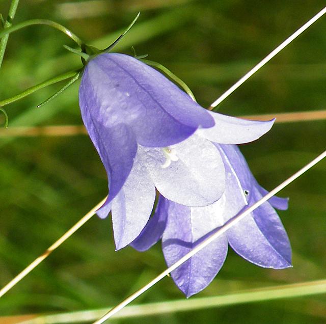 Bluebells (Campanula rotundifolia)