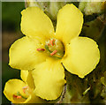 NJ4400 : Great Mullein (Verbascum thapsis) by Anne Burgess