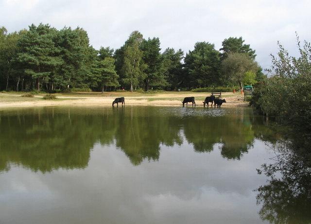 Cattle at Round Pond