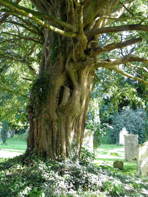 Yew tree, The Church of St Peter and Holy Cross