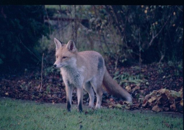 Urban fox, Edinburgh