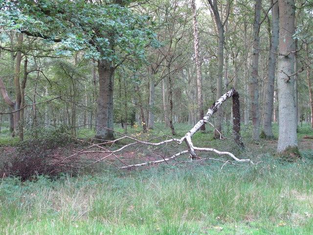 Fallen Birch in Epping Plain