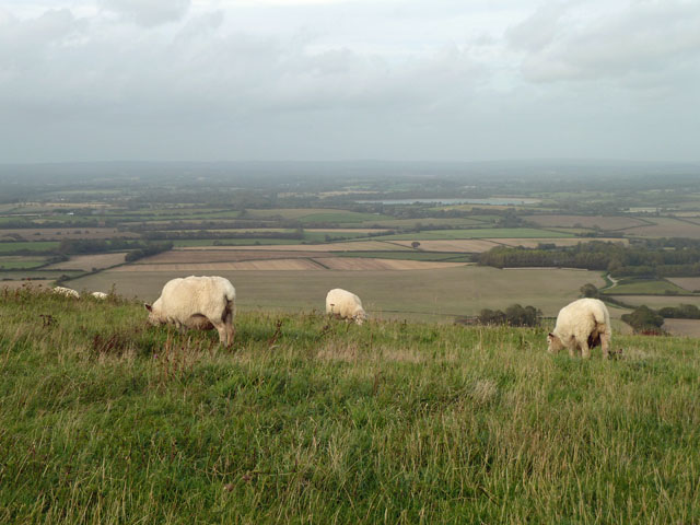 Sheep on the South Downs