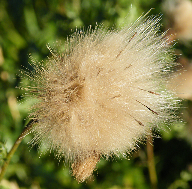 Creeping Thistle Seedhead