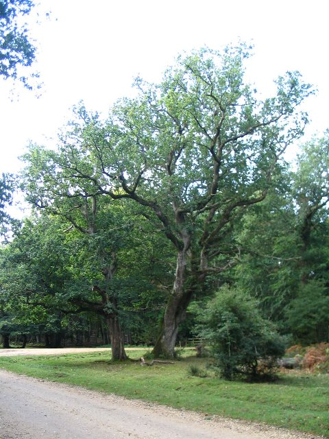 Oaks at a track junction