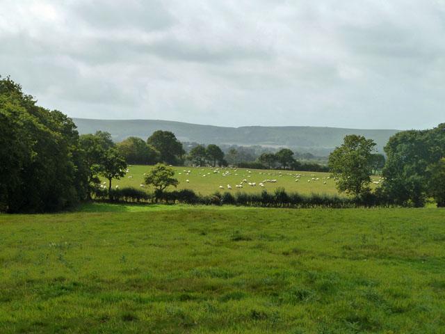 Sheep near Selmeston Croft