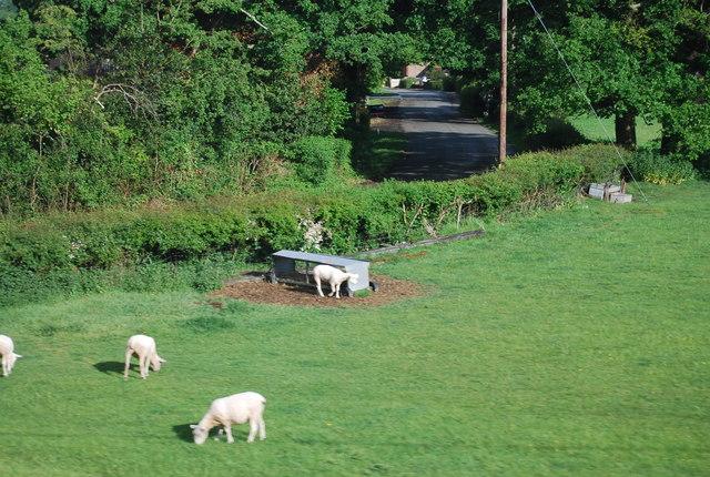 Lambs near Barns Green