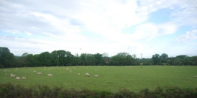 Sheep grazing, North Heath Farm