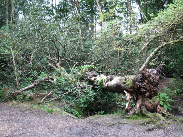 Fallen birch tree