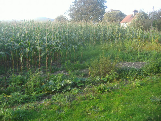 Maize field, Cobbe Place farm