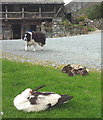 SD3199 : Dog, duck and ducklings at Yew Tree Farm by Karl and Ali