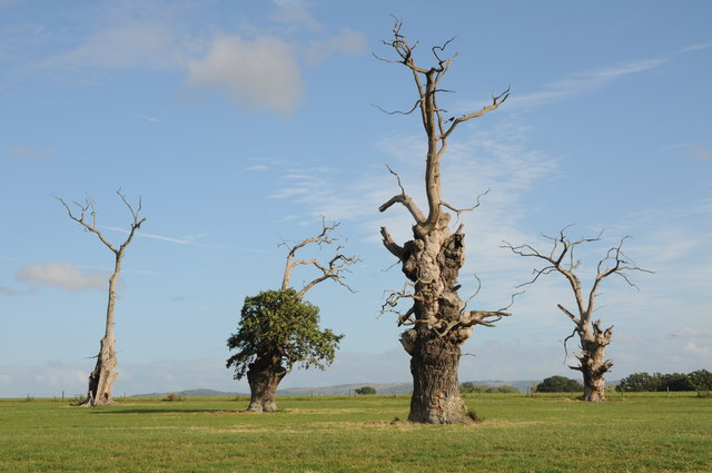 Old oak trees at Forthampton