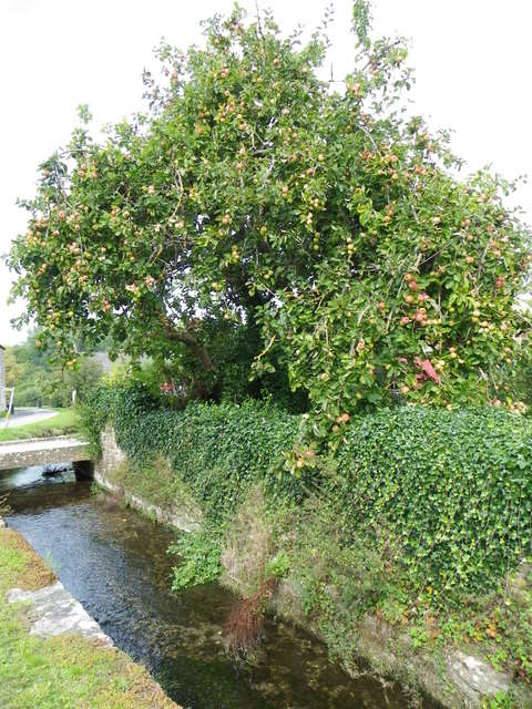 Apple tree, Teffont Evias